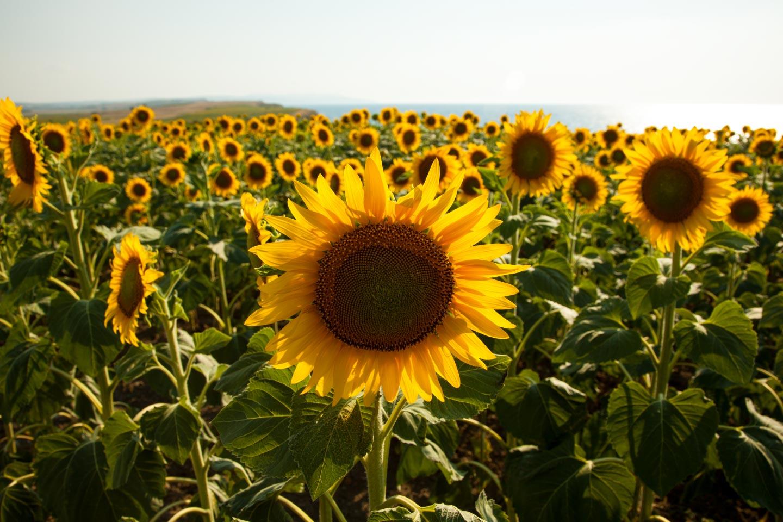 The Sunflowers of Northwestern Turkey